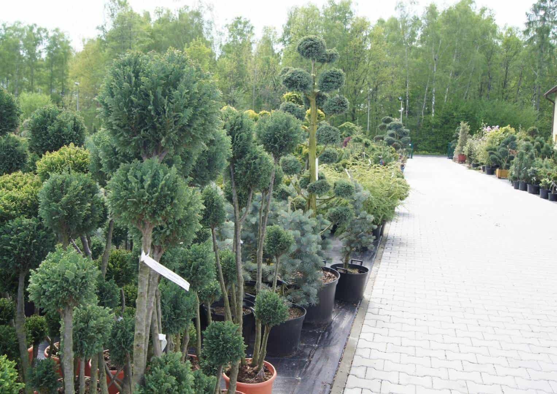 Konior - szkółka krzewów ozdobnych