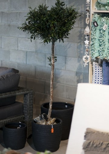 Drzewko oliwne 150cm