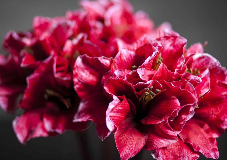 Amarylis czerwony 99cm